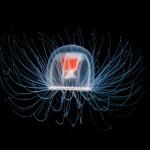 Jak żyć wiecznie? Wystarczy zostać… meduzą