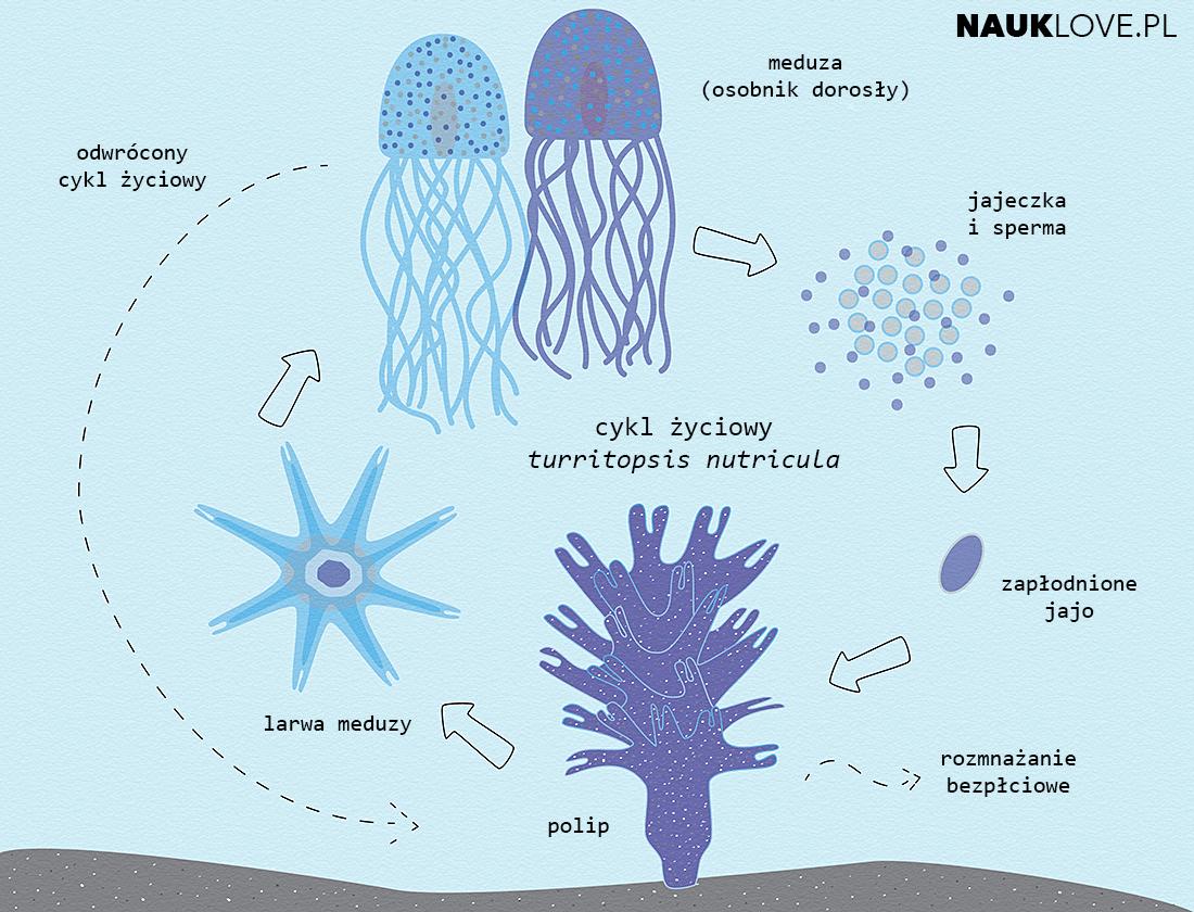 Cykl życiowy meduzy Turritopsis nutricula.
