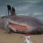 Uważaj na martwe wieloryby