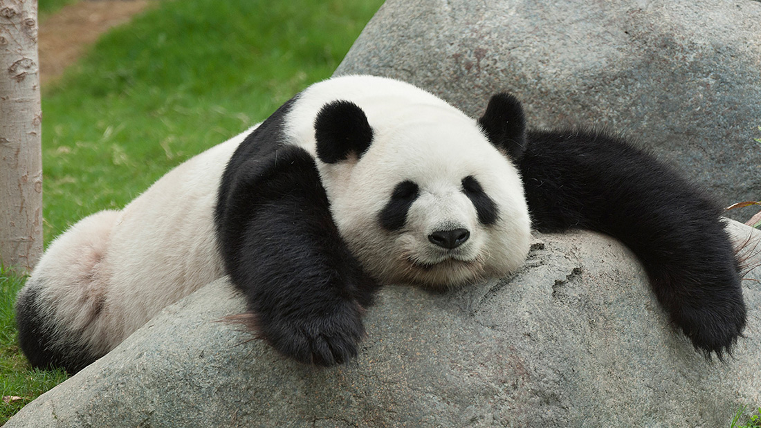 panda-śpi