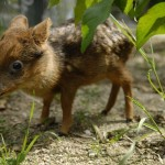 Pudu – najsłodszy jeleń, jakiego widzieliście