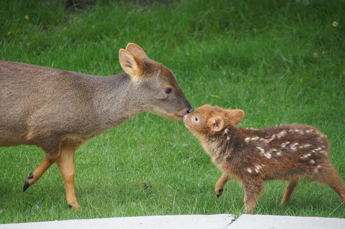 pudu-jelenie