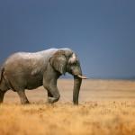 Perwersyjne zwyczaje słoni afrykańskich