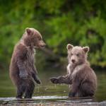 Niedźwiedzie brunatne lubią… seks oralny!