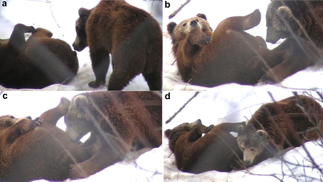 oral-niedźwiedzie