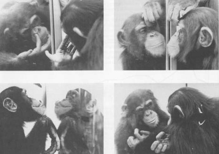 szympans-lustro
