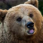 Rosyjski maszynista z premedytacją rozjeżdża niedźwiedzia