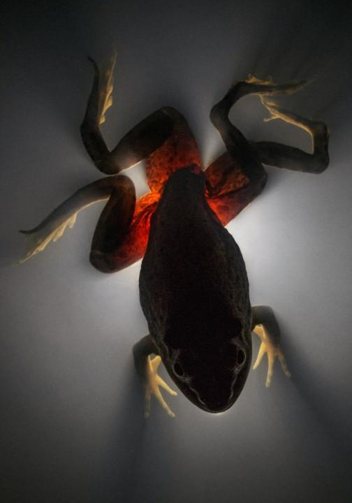 Pasożytniczy płazieniec / Żaba rycząca