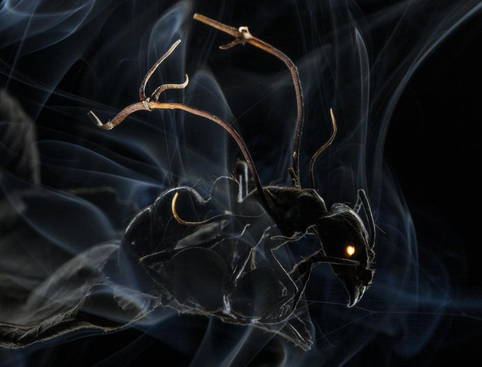 Pasożytniczy grzyb / Amazońska mrówka