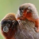 W zagrożonych wycięciem lasach Brazylii odkryto nowy, uroczy gatunek małpy