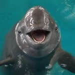 Godzina dla morświna – podpisz petycję i pomóż przetrwać tym sympatycznym ssakom