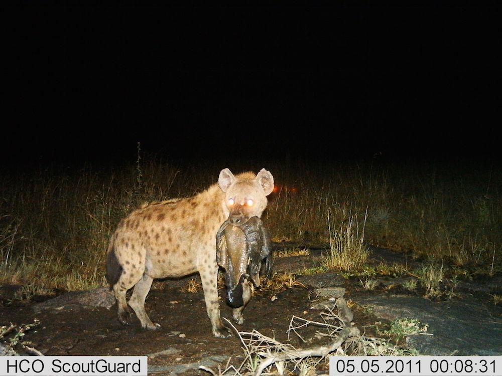 serengeti-17-hyeana