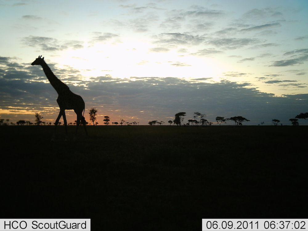 serengeti-28-giraffe-2