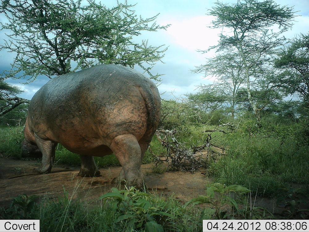 serengeti-31-hippo-2