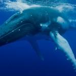 Sensacja na Bałtyku. Zawitał do nas ogromny wieloryb
