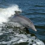 W Zatoce Gdańskiej nagrano delfiny! Po raz pierwszy od stu lat