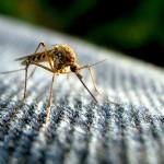 Dlaczego w tym roku nie ma komarów?