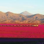 Jedna z najbardziej suchych pustyń na świecie zakwitła! Pokryła się morzem różu