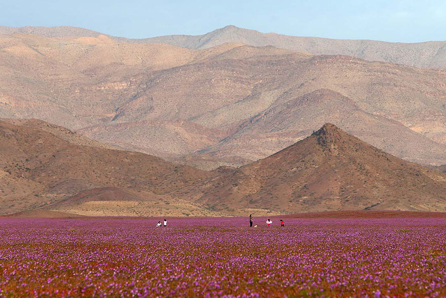 atacama-flowers-bloom-worlds-driest-desert-4
