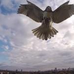 Zobacz, w jaki sposób ptaki drapieżne tresowane są do zwalczania dronów
