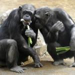 Święte drzewa szympansów. Czyżby nasi krewni posiadali swoją religię?